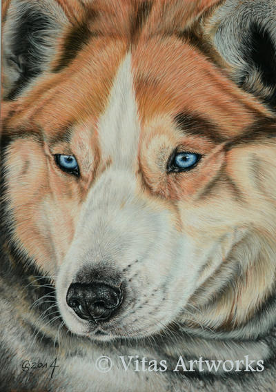 husky by Vitadog
