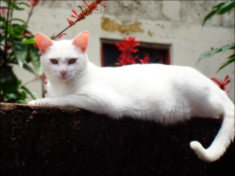 Grand Recensement ! White_cat_by_DarkHimeChan