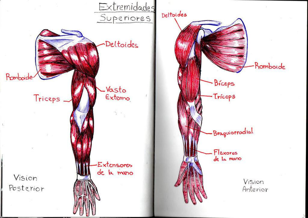 Anatomia brazo by Ichiginryu on DeviantArt