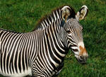 Zebra by Keithager