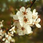 Plum Blossom by Pygar