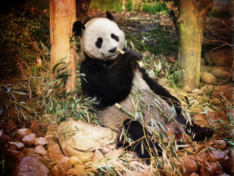 Giant Panda by Pygar