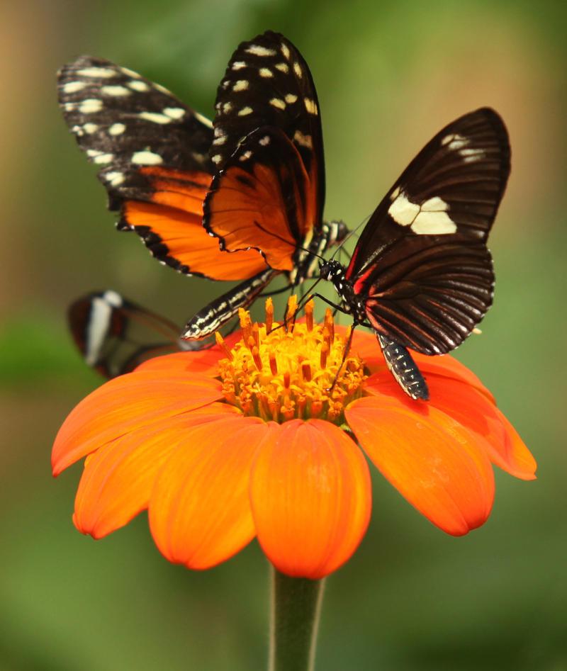 Butterflies by Pygar