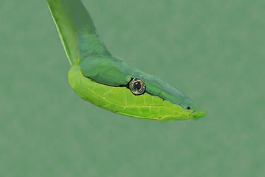 Green Snake by CrassPip