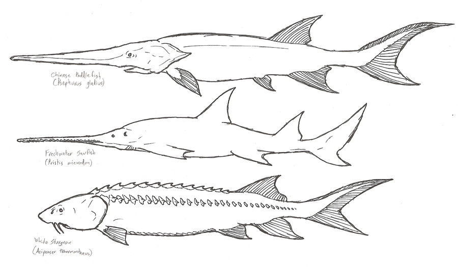 River monsters 3 by kitwhitham on deviantart for Alligator gar coloring page