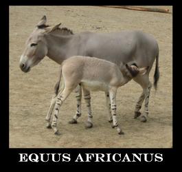 Equus africanus