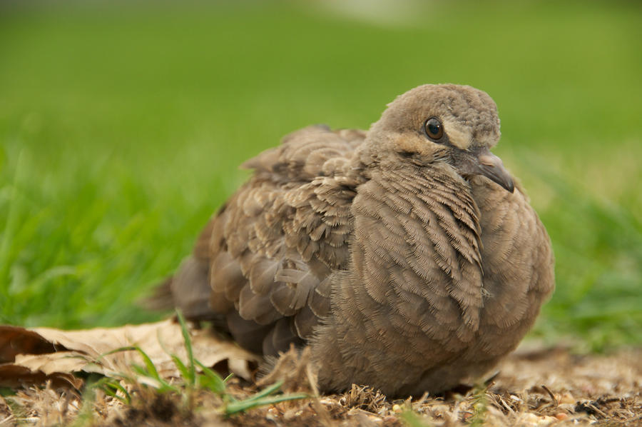 How To Make Baby Mourning Dove Food