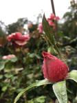 Pre-bloom Precipitation by Torrentially