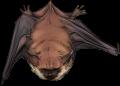 Red Bat by Issora