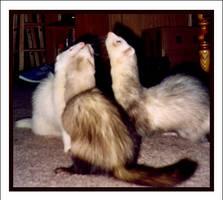 Ferrets by Bella-Blue