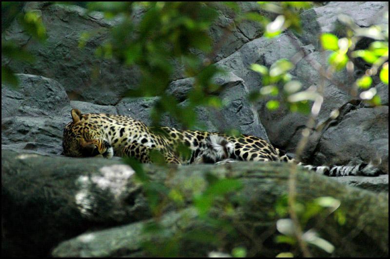 Asian Leopard by Bella-Blue