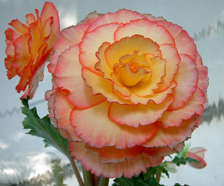 Begonia by karincharlotte