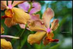Banda (a common orchid specie) by baki97