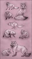 Arctic Fox Study