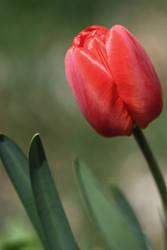 Romantic Red Tulip by KaleyObsidia