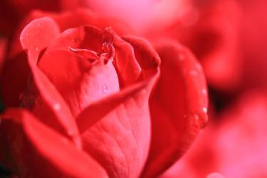 Red Silk Rose by KaleyObsidia