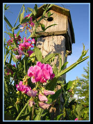 Old Birdhouse and Sweet Peas