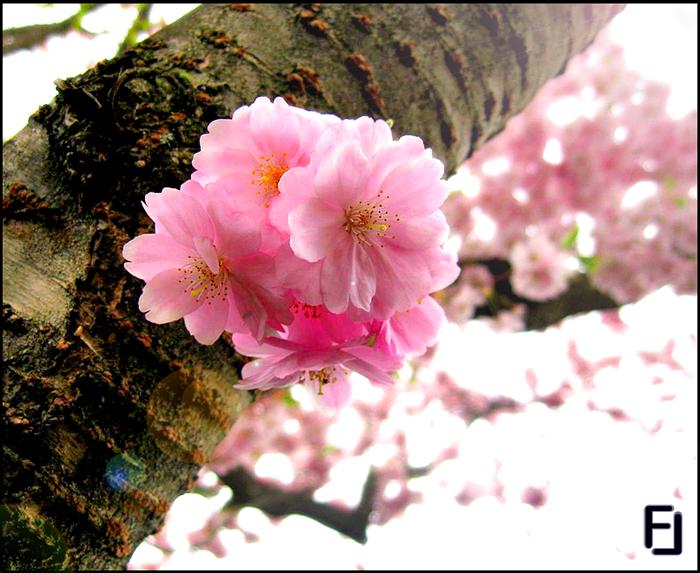 +Sakura + by Fay-lin