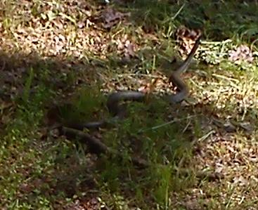 The Grass Snake by korsarz