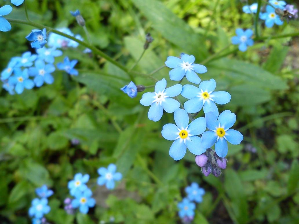 Blue Flowers by korsarz