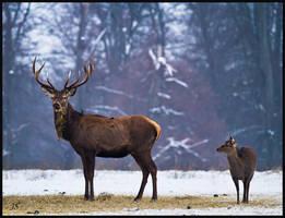 Deer by JS2010