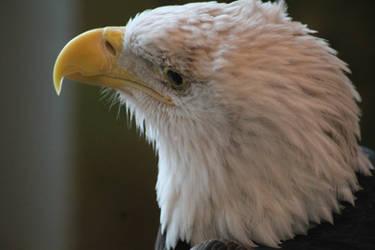 Bald Eagle by NathanKroll