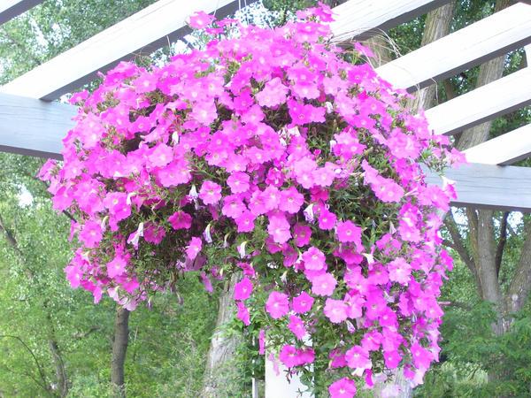 pink hanging flowers by orionsbeltarts on deviantart