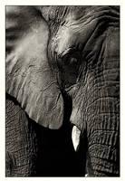 Elephant by branislavboda