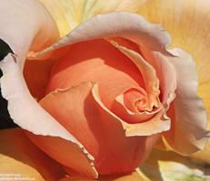 Orange Rose III by Gatesigirl