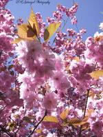 Cherry Blossom 3 by Gatesigirl