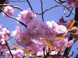 Cherry Blossom 2 by Gatesigirl