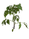 Tomato Plant png by DinowCookie