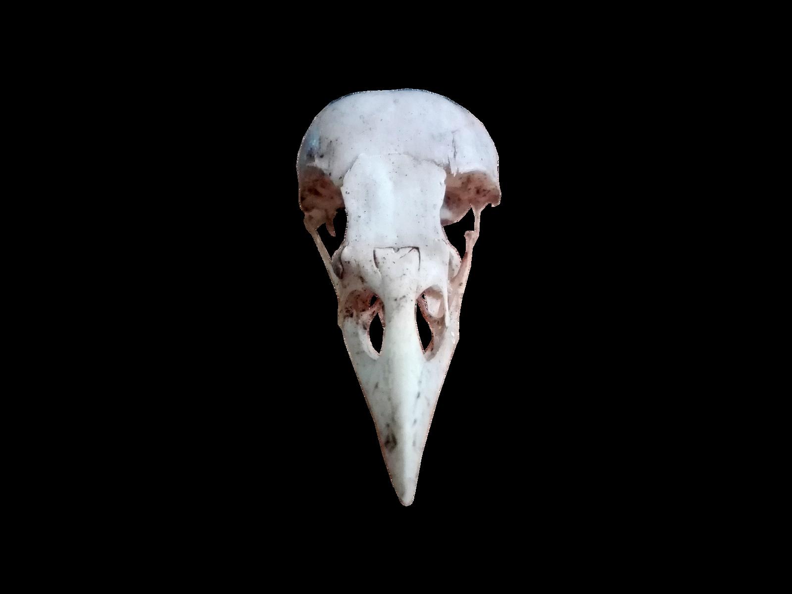 Bird Skul Png - Png-stock.com