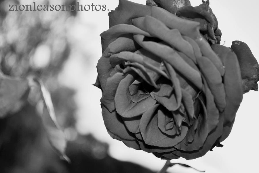 rose.. by FlashOfGrey