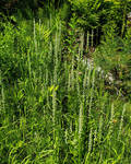 Fragrant White Bog Orchid 02 by SongoftheBlackWolf
