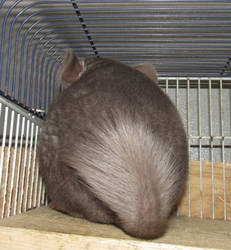 Chinchilla: Someone is in a bad mood!