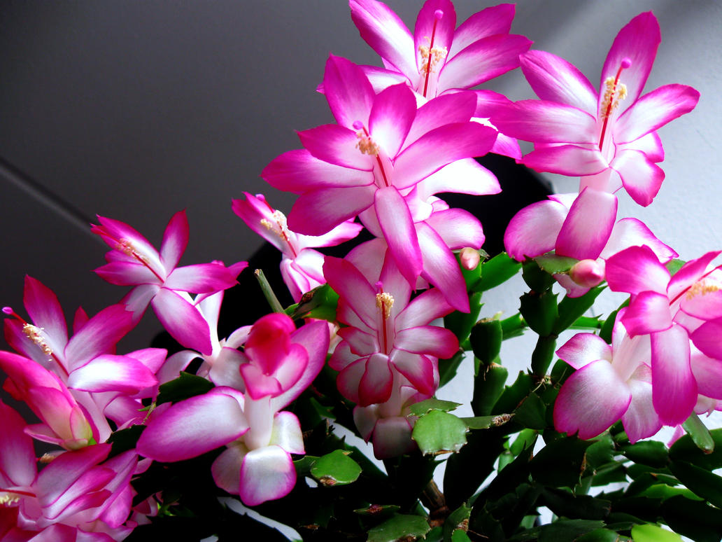 Pink Christmas cactus/Schlumbergera bloom by Xaeyu