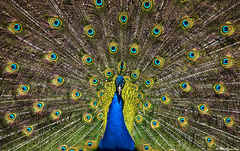 Peacock by NachoRomero