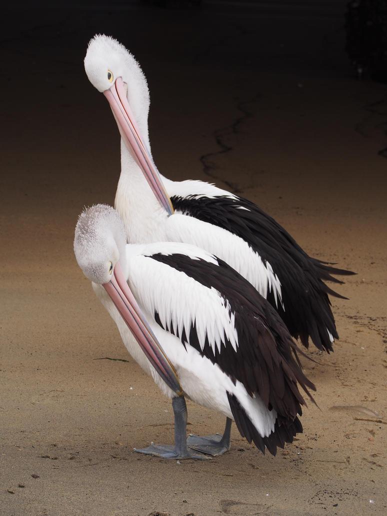 Preening Pelicans by JolanthusTrel