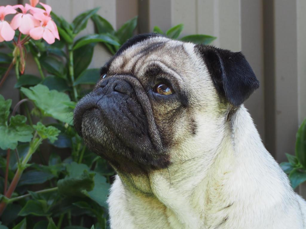 Pondering Pug by JolanthusTrel