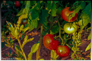 Tomatoes of My Garden by crazytux