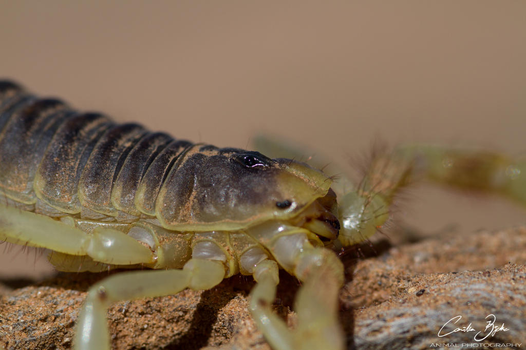 Desert hairy scorpion by CamStatic