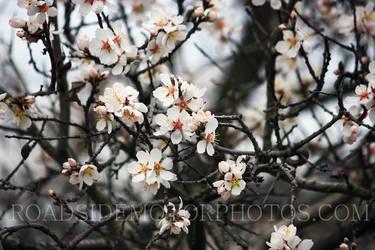 Mandulafa 002 (Almond tree)