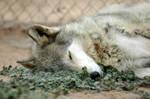 sleepy Maki by Nieme
