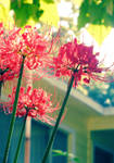 9-26 Spider Lily 02