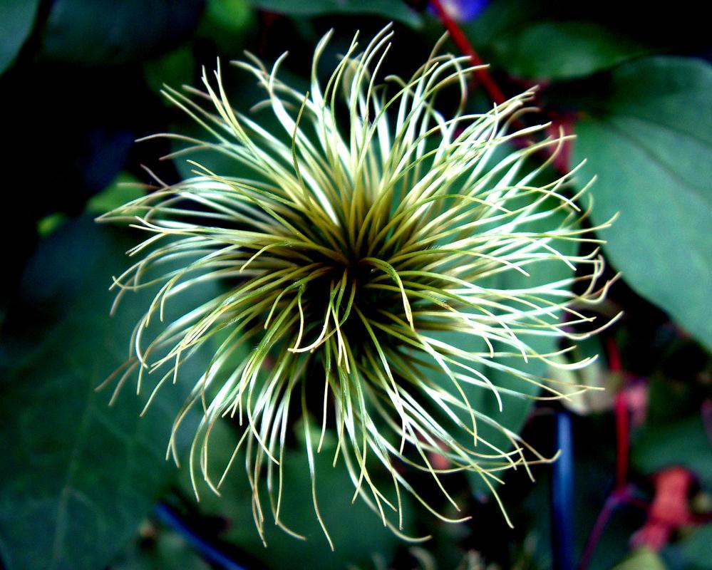 The White Spider Flower by yellowcaseartist on deviantART