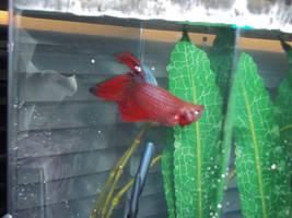 Meet my Betta fish Natsu by dragoon4456555