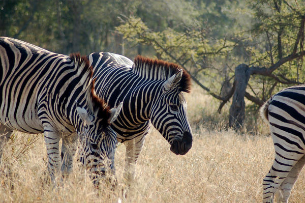 Zebra by ruffian11