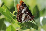 Lorquin's Admiral Butterfly - 1