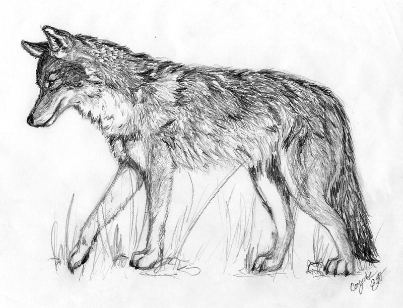 Coyote head drawing - photo#13